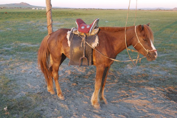 A Mongolian horse and the traditional mongol saddle. (Flickr/scjody)