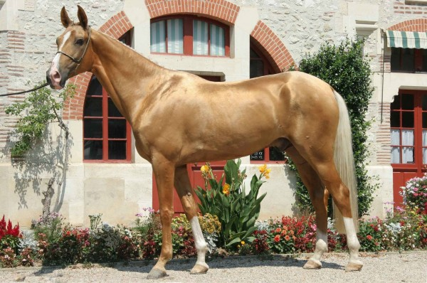 "A ""Golden"" Akhal-Teke stallion. (wikipedia)"