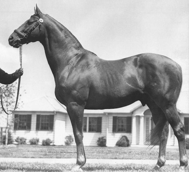 Man o' War's conformation shot as an older stallion.